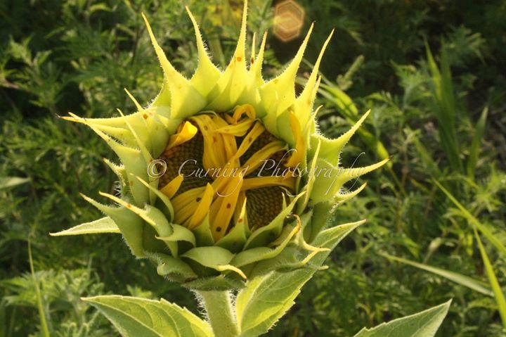 new sunflower