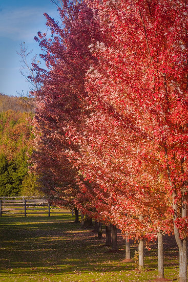 photograph of a row of red trees