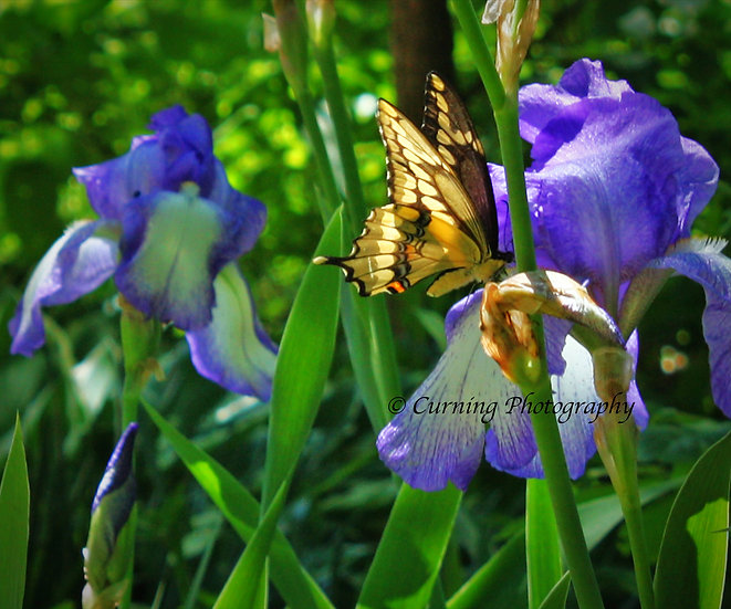 photograph of a yellow swallow tail butterfly on a purple iris