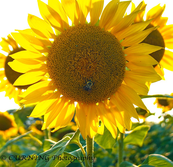 Photograph of a bee on a sunflower with a field of sunflowers in the background
