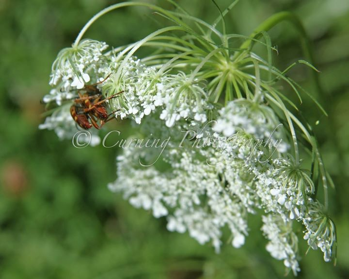 insects on queen anns lace