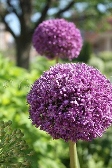 photograph of 2 purple round flowers