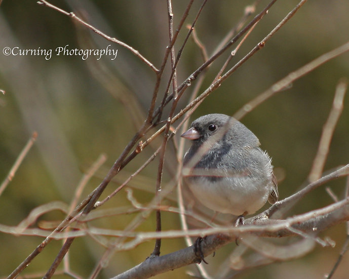 Photograph of a small gray bird on bare tree branches