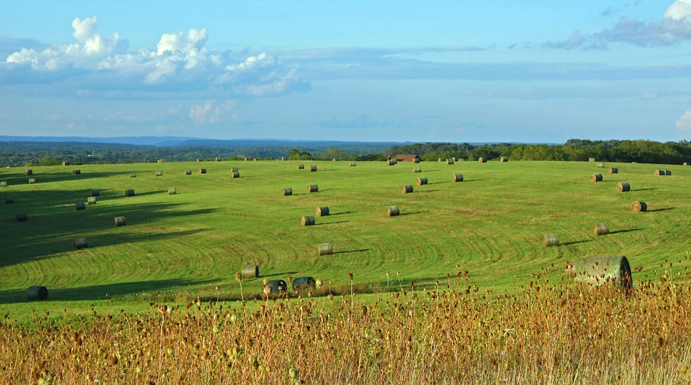 photograph of a field of hay bales in a grassy field on a sunny day