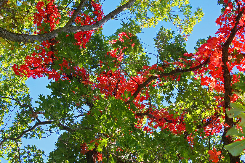 photograph of red and green leaves on a tree