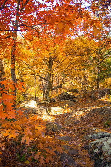 photograph of a red and orange tree in the woods