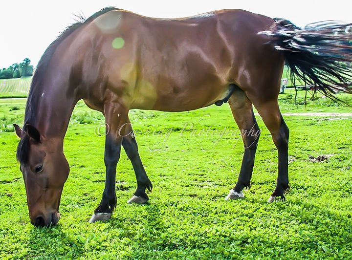 Photograph of a brown horse eating grass in a field