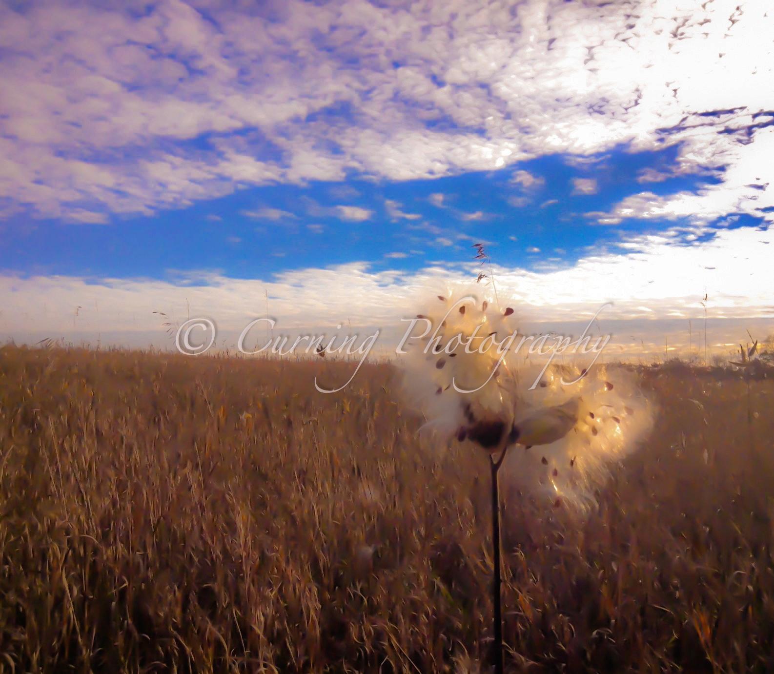 milkweed in a field