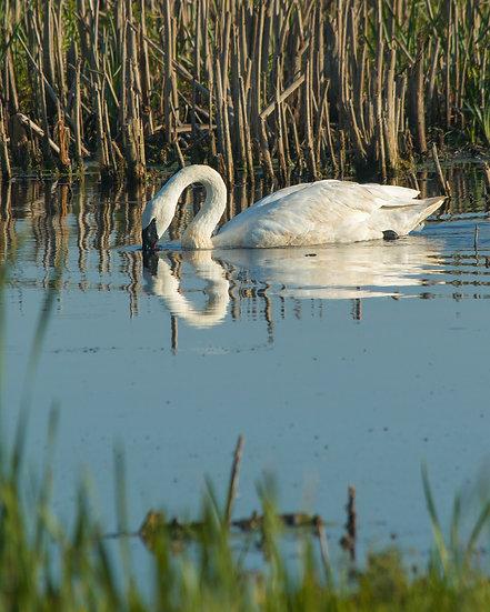 photograph of a white swan on the water with a reflection