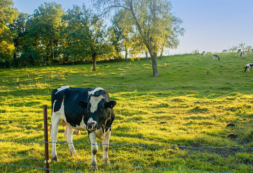 photograph of a dairy cow in a sunny grassy field
