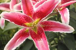 pink and white lily #2