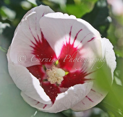 red and white flower #3