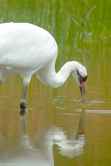 photograph of a whooping crane with his beak in the water with a reflection