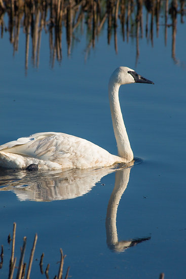 photograph of a white swan in the water