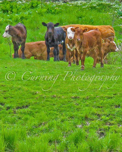 calves in a field