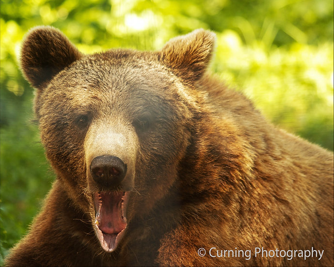 photograph of a brown bear close up with his mouth open