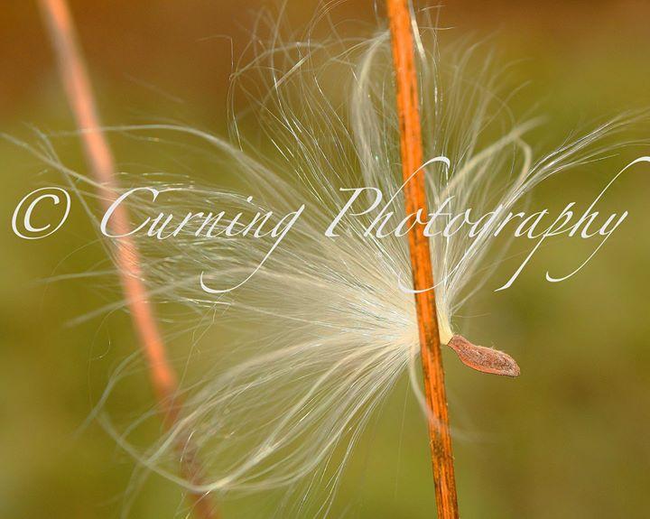 milkweed seed