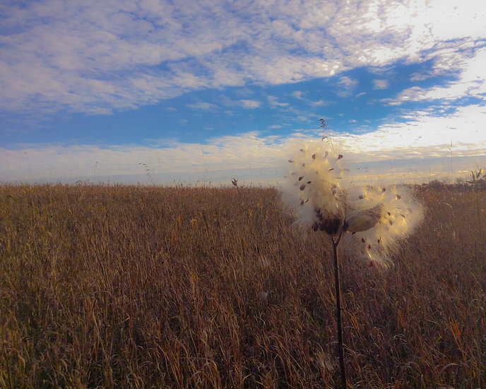 photograph of a milkweed pod opening in a field