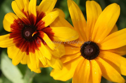 black eyed susans #3