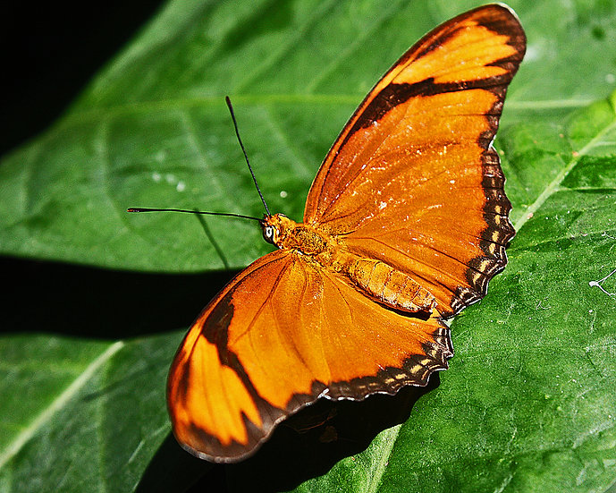 close up photograph of an orange butterfly on a green leaf