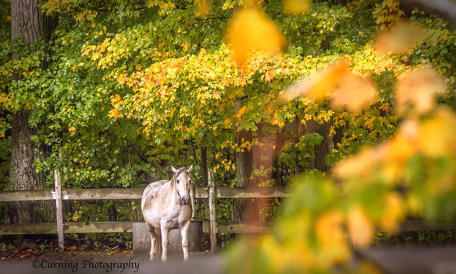 photograph of a white horse standing infront of a wooden fence with green and yellow leaves in the foreground and background