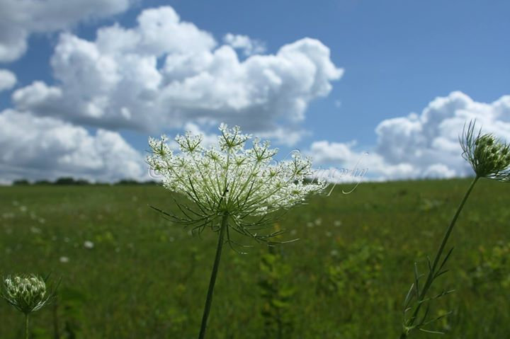 Photograph of a single stalk of queen ann's lace flower in a green field with a blue cloudy sky
