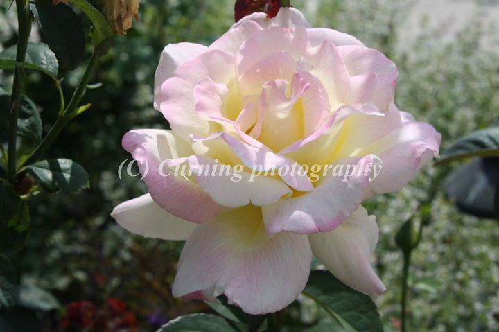 pink white and yellow rose