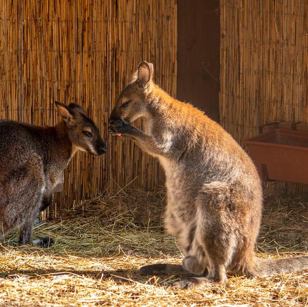 Benett kenguru