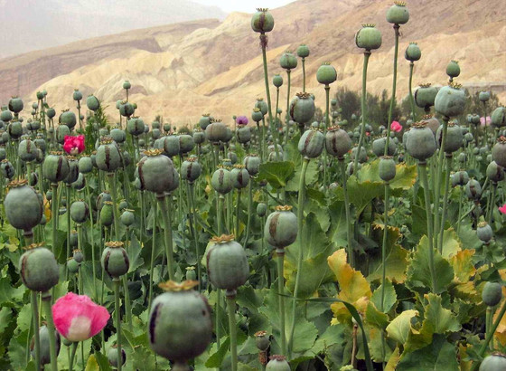 Record Opium Production in Afghanistan Threatens Sustainable Development and Security