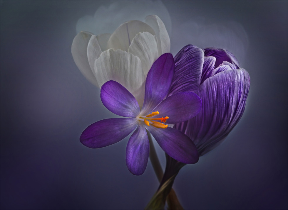COLOUR - Winter Crocuses by Anne Doherty (8 marks)