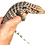 Thumbnail: Baby Polar Tegu For Pre-Order Sale