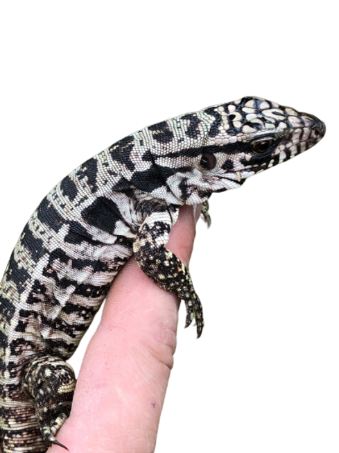 Baby Polar Tegu For Pre-Order Sale