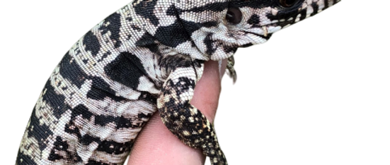Baby Polar Tegu For Sale