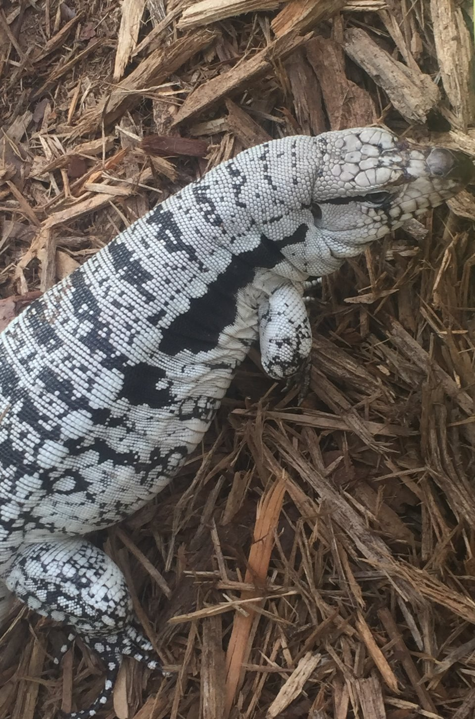 Blue Tegu For Sale