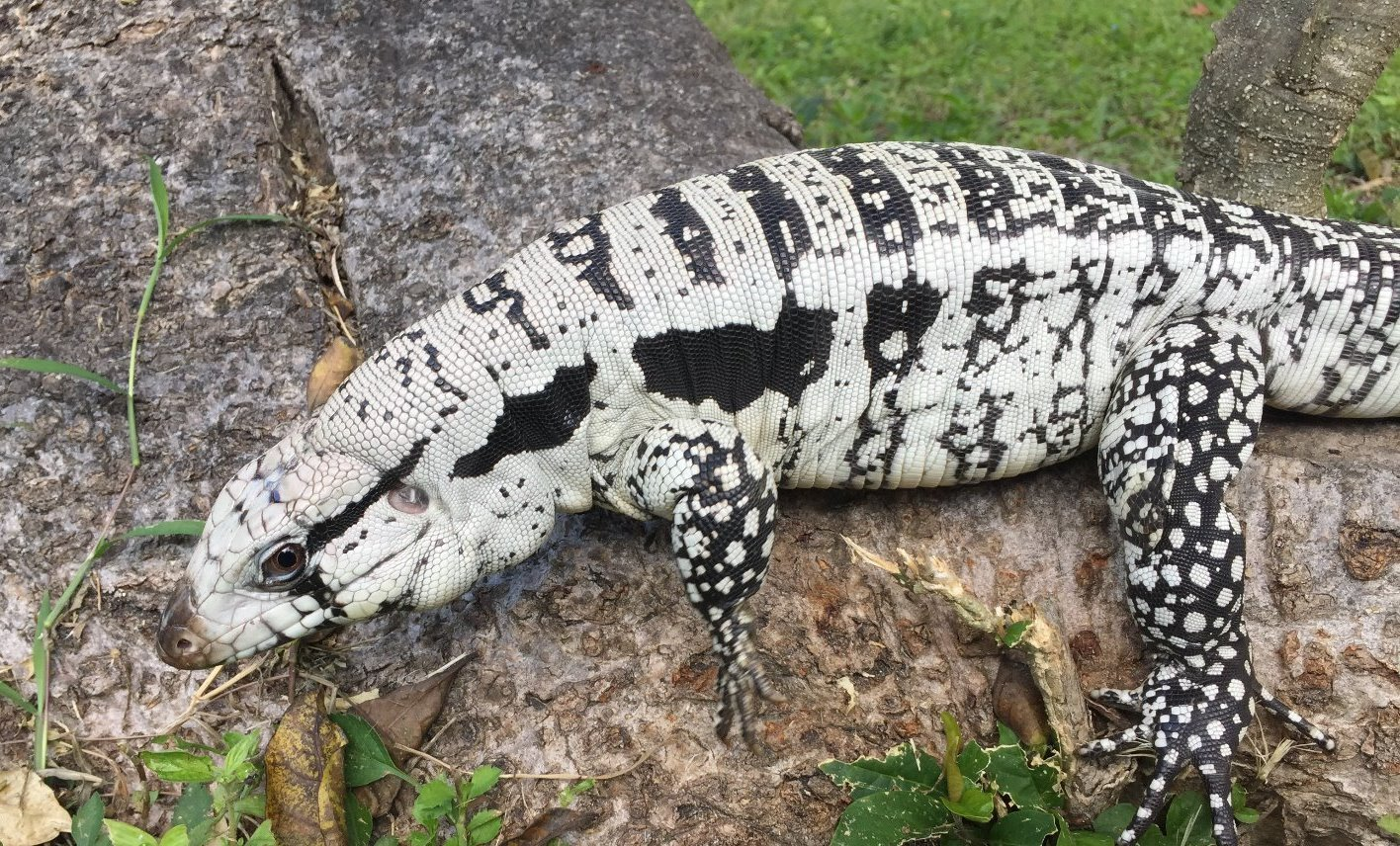 Blizzard Blue Tegu For Sale