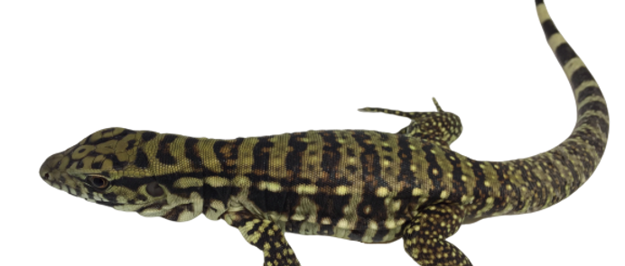 Baby Tri Color Tegu For Sale