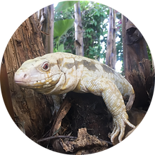 Albino Blue Tegu For Sale