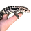 Thumbnail: Baby Super Blue Tegu For Pre-Order Sale