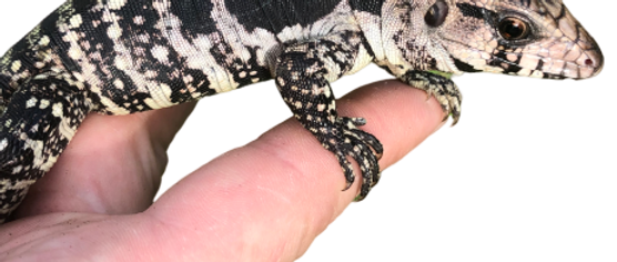 Baby Super Blue Tegu For Sale