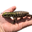 Thumbnail: Baby Black And White Tegu For Sale