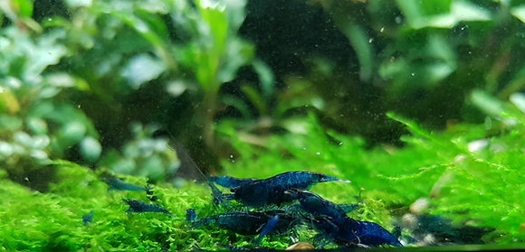 BLUE DREAM Neocaridina (10)