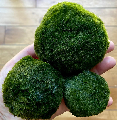 MARIMO MOSS BALL SET