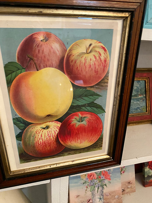 Early 20th C. Chromo Lithograph of Apple Varieties