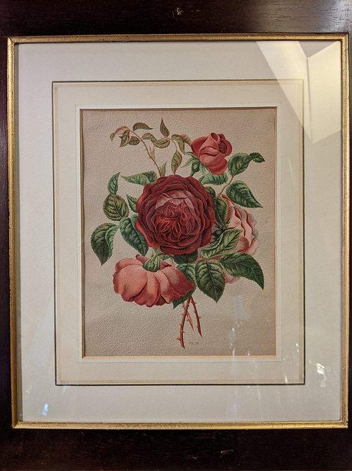 Antique Rose  Botanical