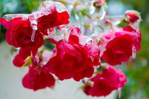 Frozen roses.jpg