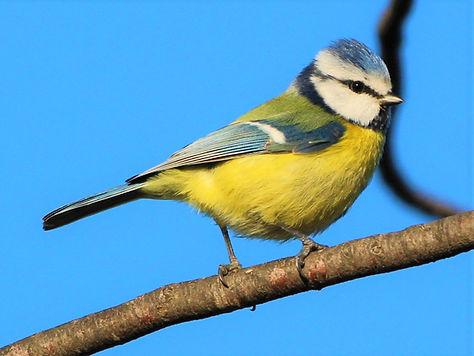 Mésange bleue  (©Andrea D'accunto).JPG