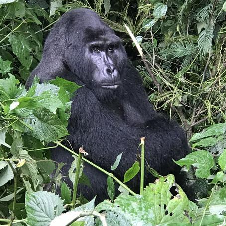 """""""The Piece de Resistance"""" - Gorilla Trekking..."""