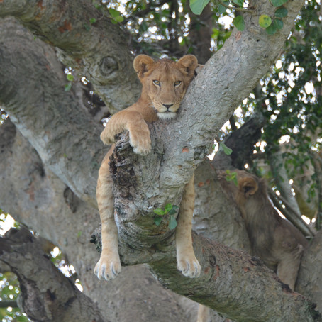 Did You Know That Lions Climb Trees?