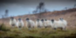 Sheep 2 x 1 (2400 x 1200).jpg