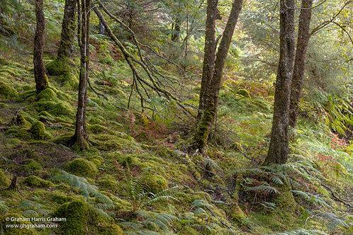 Forest Floor, Glen Etive (Print Only)